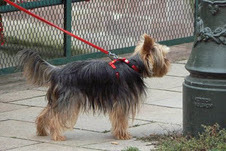 Yorkie_with_tail