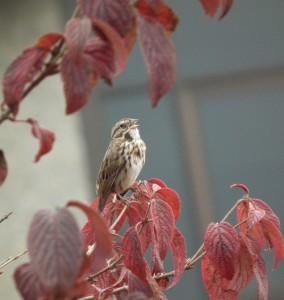 Asheville sparrow
