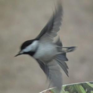 chickadee at take off