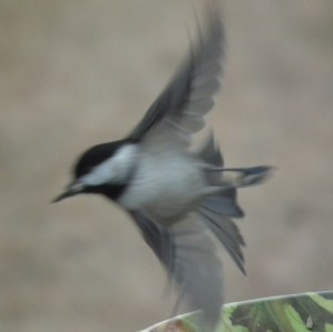 chickadee at take off