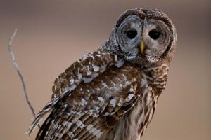 barred_owl-at-wilstead-feb-15-2017